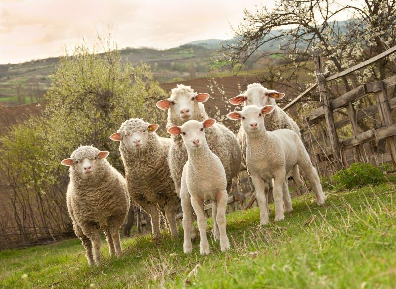 Pecore ed agnelli sul pascolo fotografia stock