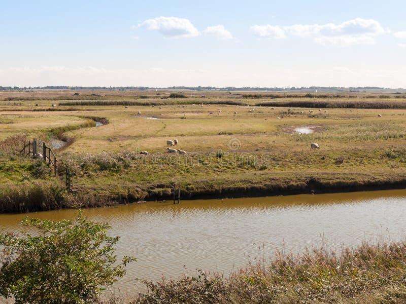 Pecore ed agnello di scena della corrente del fiume attraverso il modo nel reser della natura immagine stock libera da diritti