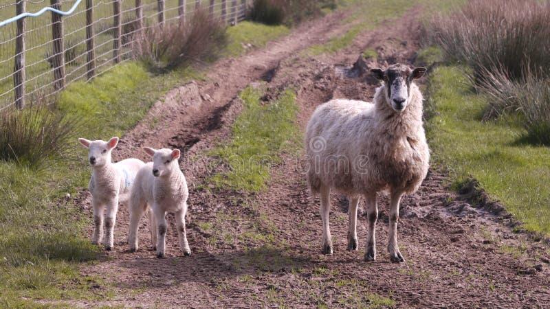 Pecore ed agnello femminili due su una pista fangosa dei rass in cumbria Inghilterra fotografia stock libera da diritti