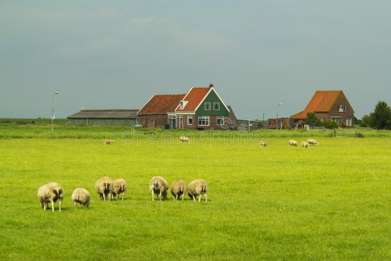 Pecore ed azienda agricola in Marken. fotografie stock