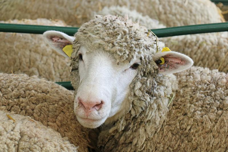 Pecore in fattoria degli animali immagini stock
