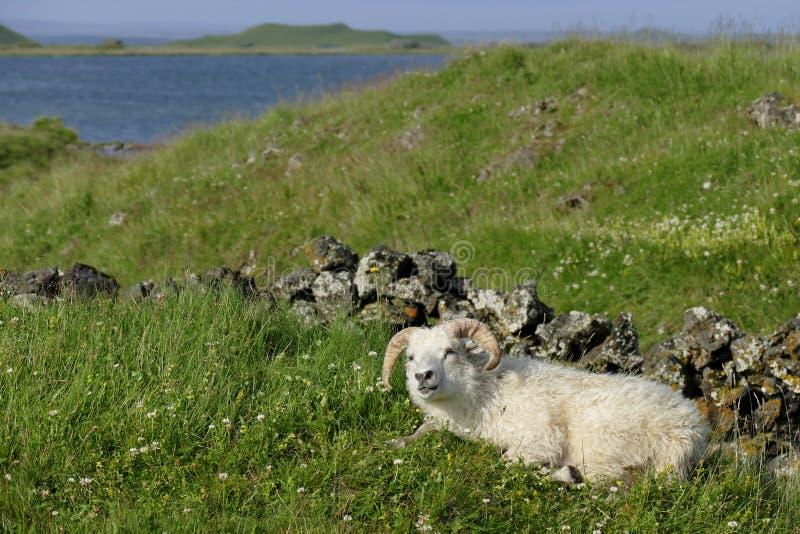 pecore Felice di aspetto nel lago del vatn del ½ di MÃ, Islanda fotografie stock
