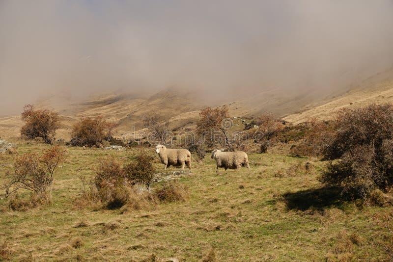 Pecore in foschia alla pista nell'inverno, Nuova Zelanda del picco di Roys fotografia stock libera da diritti
