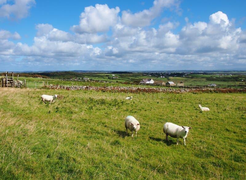Pecore in Galles fotografie stock