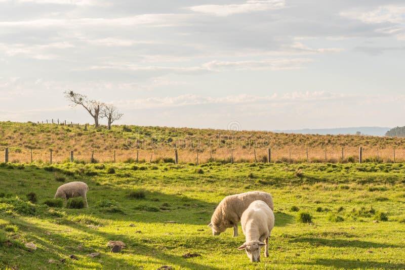 Pecore Grazin nel Brasile del sud 03 immagine stock
