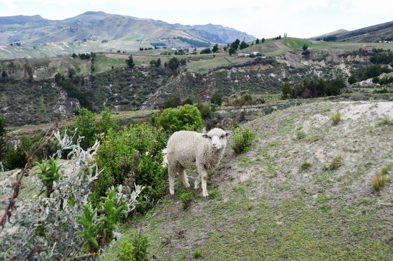 Pecore intorno al cratere di Quilotoa, Ecuador fotografia stock libera da diritti