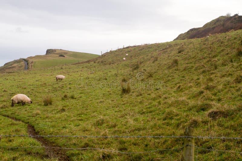 Pecore in Irlanda fotografie stock libere da diritti