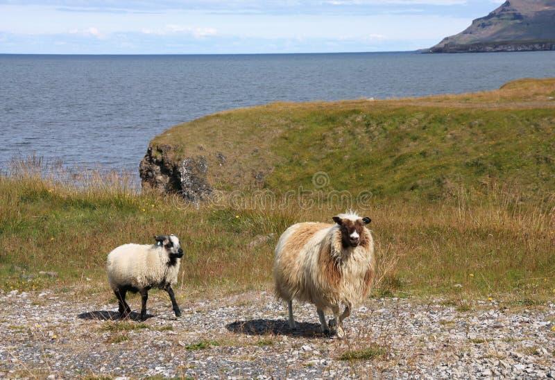 Pecore in Islanda immagini stock