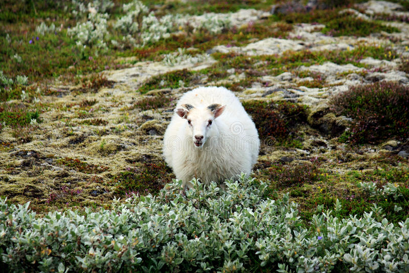 Pecore islandesi fotografia stock libera da diritti