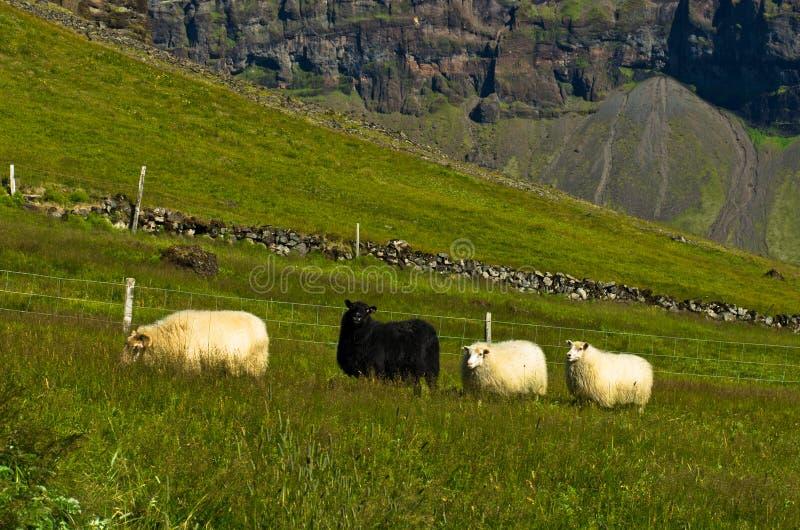 Pecore islandesi in bianco e nero al prato dell'azienda agricola di Nupstadur immagine stock