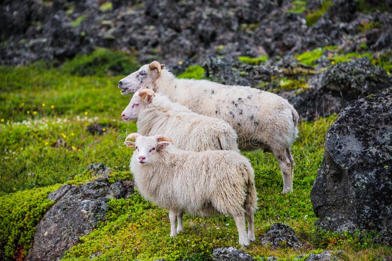 Pecore islandesi e bello paesaggio islandese, Islanda immagine stock