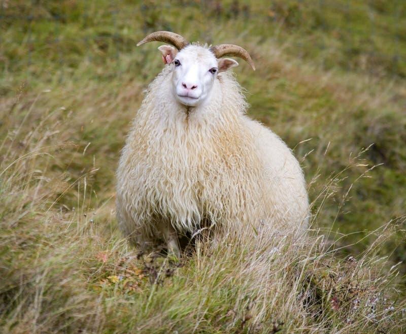 Pecore islandesi - Islanda immagini stock