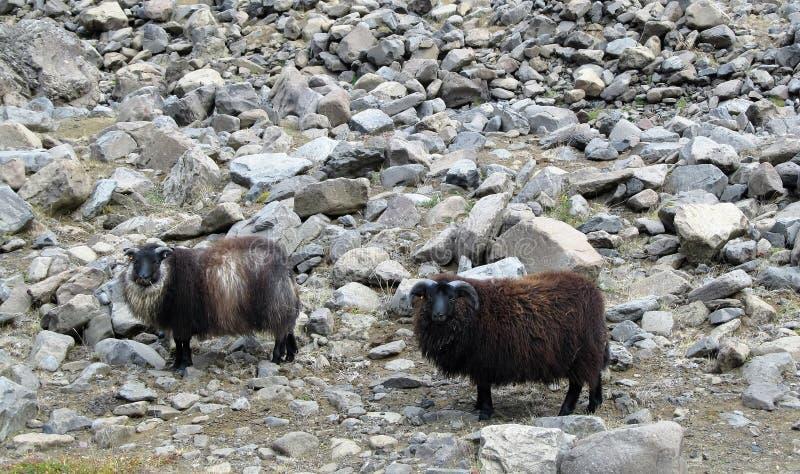 Pecore marroni selvagge islandesi immagini stock libere da diritti