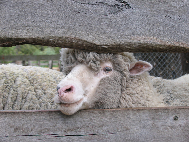 Pecore merino immagini stock libere da diritti
