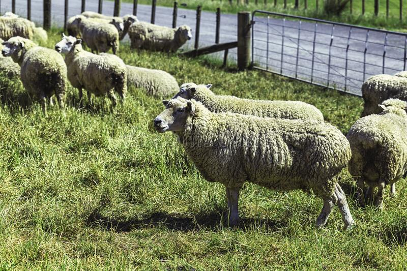 Pecore merino all'allevamento in Nuova Zelanda immagine stock
