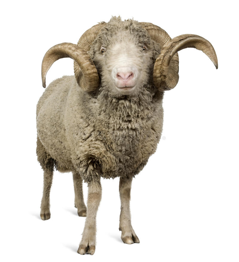 Pecore merino di Arles, ram, 5 anni fotografie stock libere da diritti