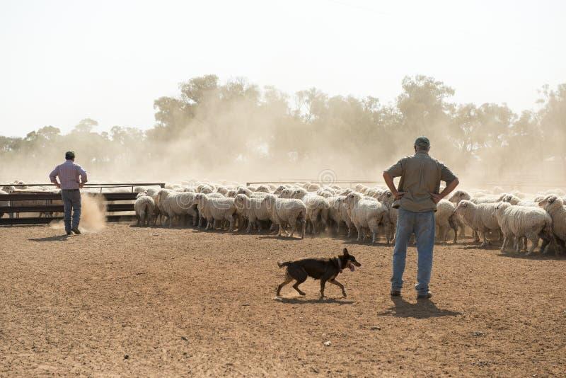 Pecore merino di raduno fotografia stock libera da diritti