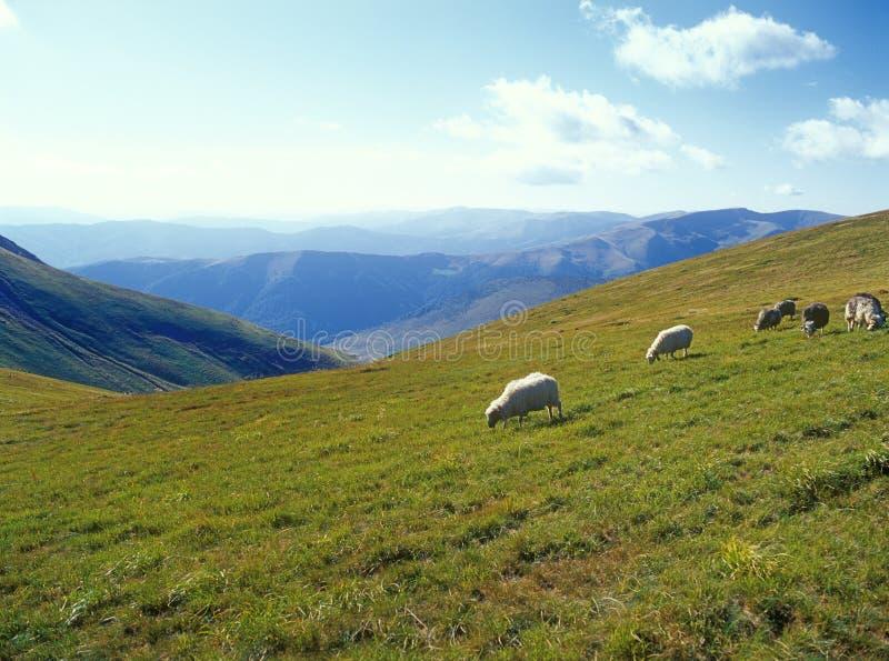 Pecore in montagne. fotografia stock libera da diritti