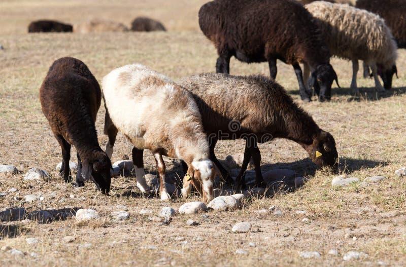 Pecore in natura in autunno fotografia stock libera da diritti