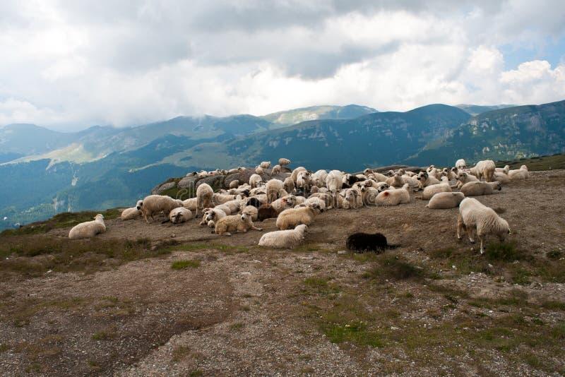 Pecore nei carpathians fotografia stock