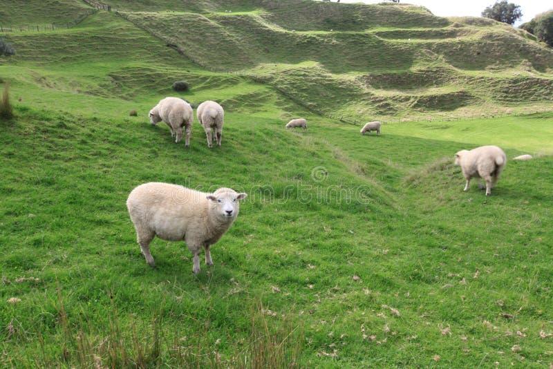 pecore nel campo verde immagini stock