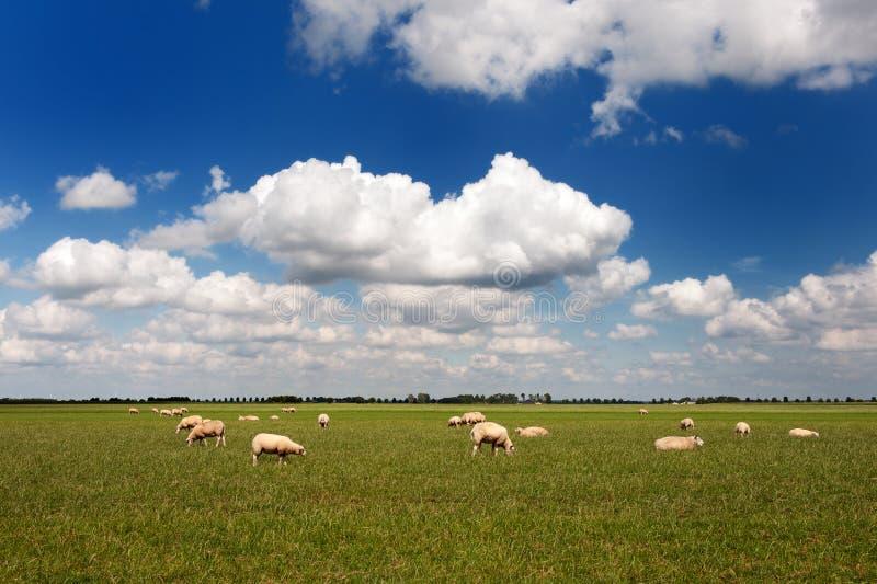 Pecore nel paesaggio piano fotografia stock