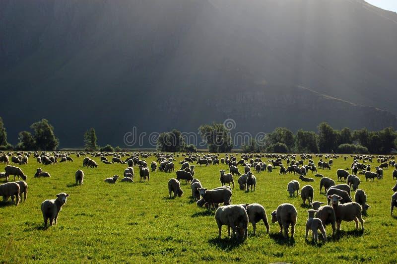 Pecore nel ranch immagini stock libere da diritti