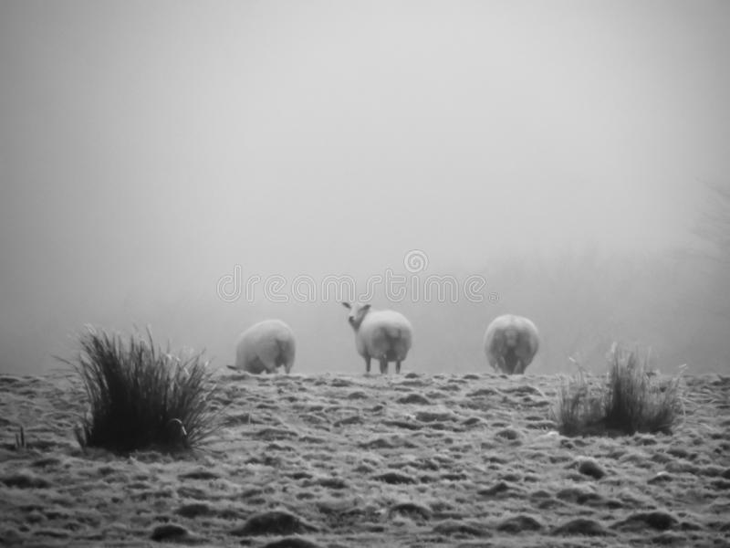Pecore nella foschia fotografia stock libera da diritti