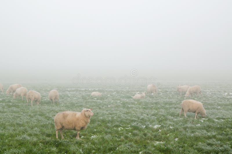 Pecore nella foschia in inverno immagini stock libere da diritti