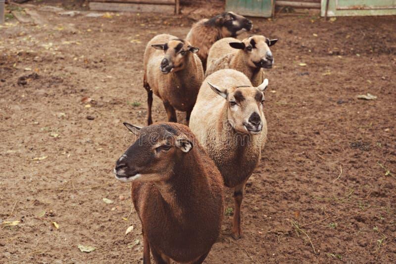 Pecore nella linea per fieno: & x29; immagine stock libera da diritti
