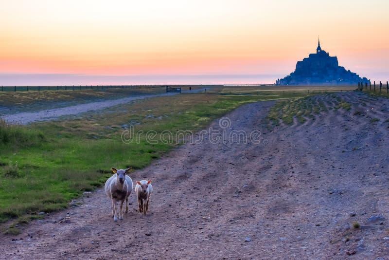 Pecore nella priorità alta e siluetta al tramonto dal terreno coltivabile di Mont Saint Michel, Francia fotografie stock