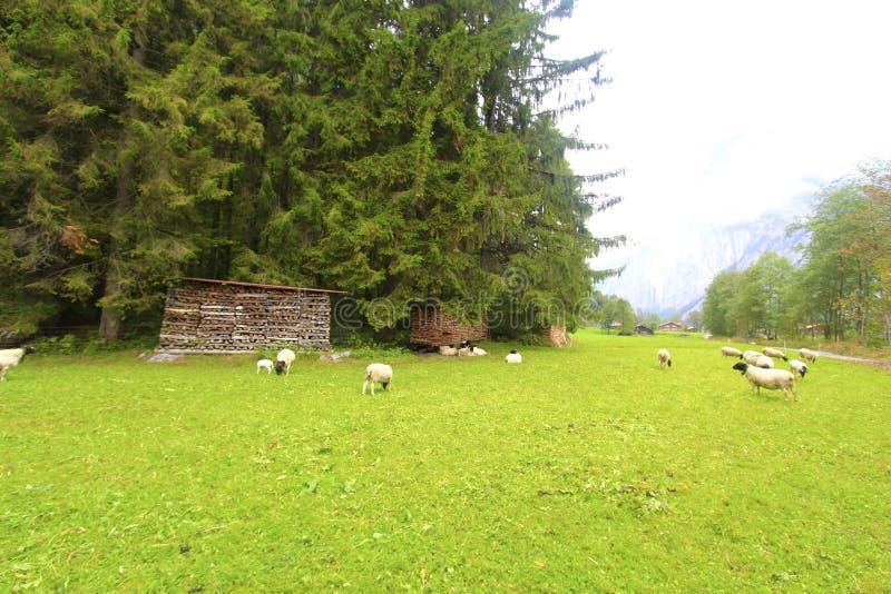 Pecore nella valle immagine stock libera da diritti