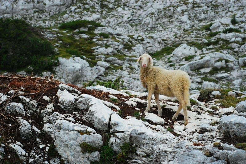 Pecore nelle montagne I immagine stock libera da diritti