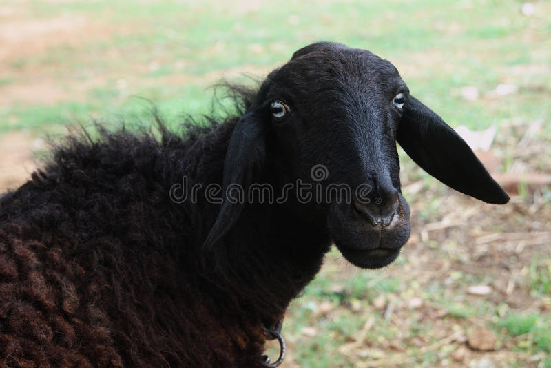 Pecore nere fotografie stock