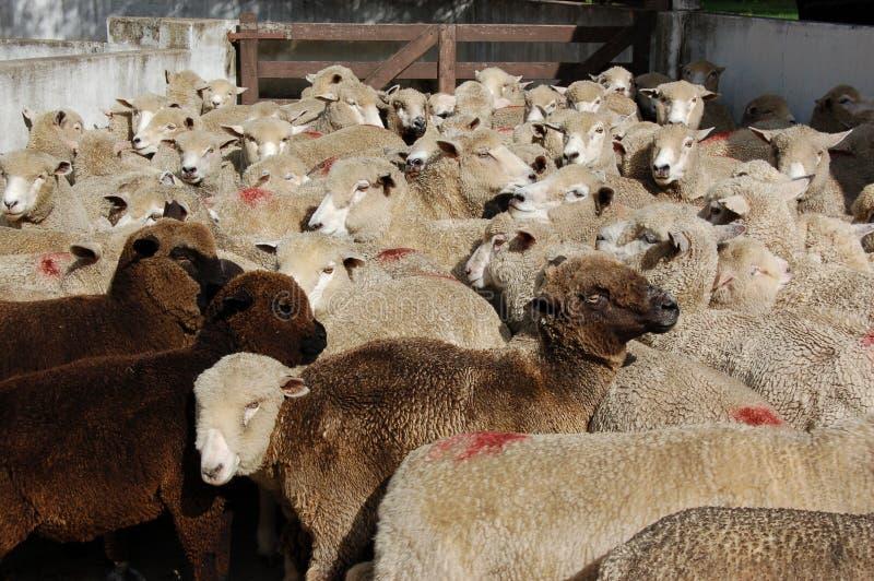 Pecore nere che provano a adattarsi dentro fotografia stock