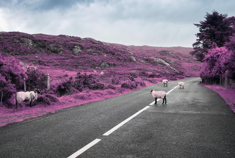 Pecore porpora surreali che pascono sulla strada in Irlanda fotografia stock