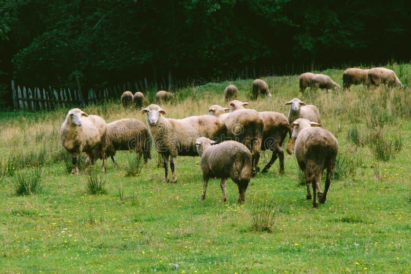 Pecore principalmente Spooked fotografia stock libera da diritti