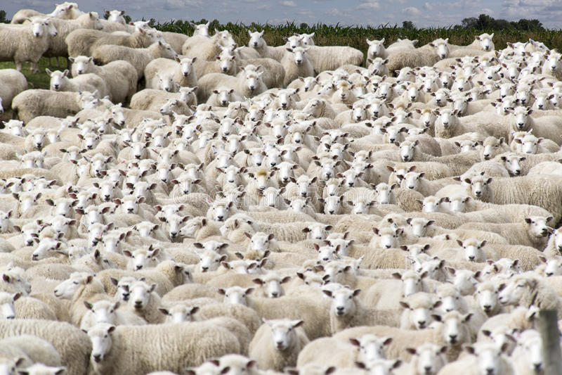 Pecore pronte ad essere rasato fotografia stock