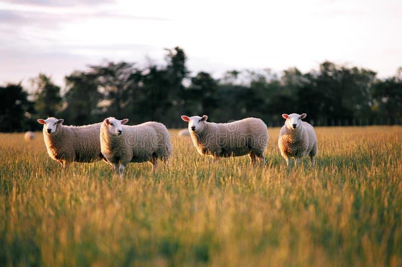 Pecore in recinto chiuso. immagini stock