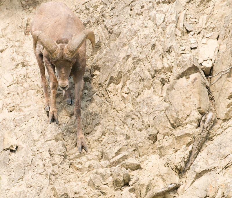 Download Pecore Rocciose Del Pendio Di Collina Del Bighorn Fotografia Stock - Immagine di ascensione, scogliera: 7315690