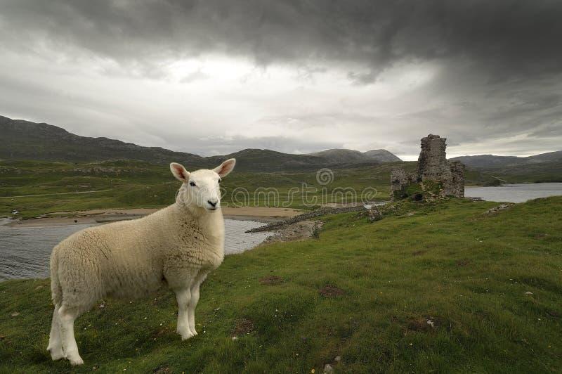 Pecore scozzesi immagine stock
