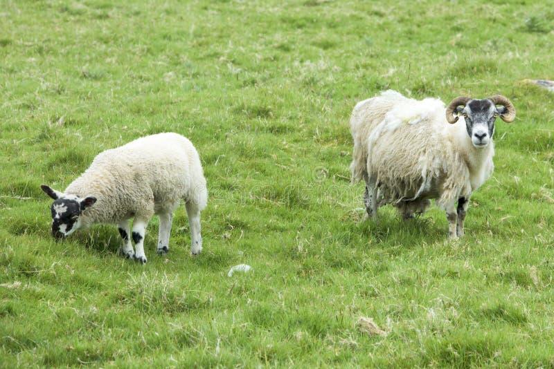 Pecore scozzesi immagini stock