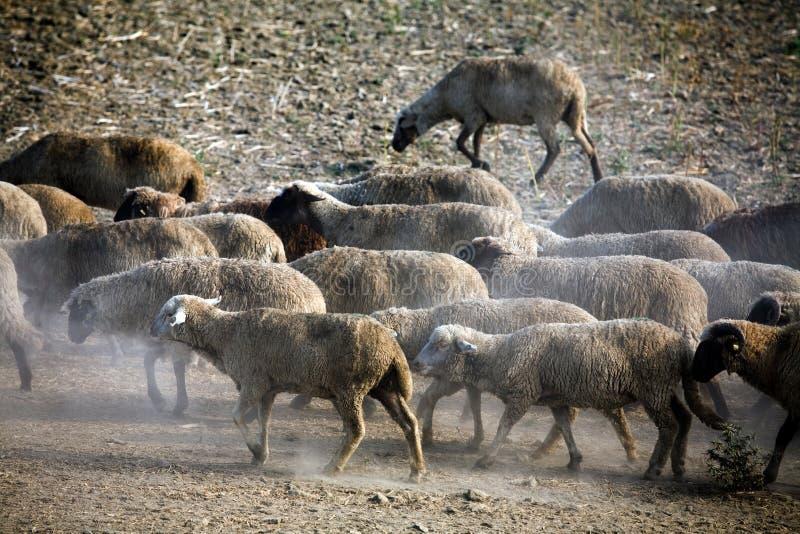 Pecore sentite fotografia stock