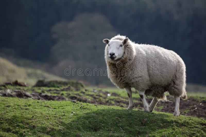 Pecore sole fotografia stock
