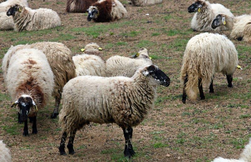 Pecore spagnole che pascono in un'azienda agricola fotografia stock libera da diritti