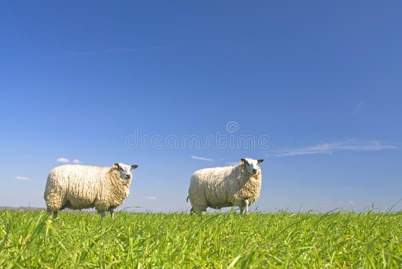 Pecore su erba con cielo blu immagine stock libera da diritti