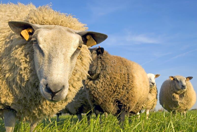 Pecore su erba con cielo blu fotografia stock