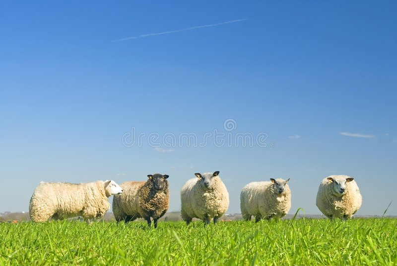Pecore su erba con cielo blu fotografie stock libere da diritti