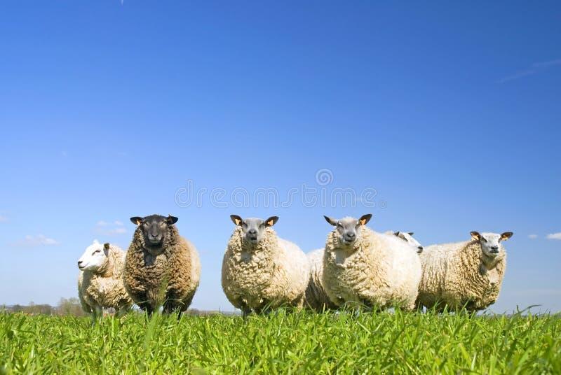 Pecore su erba con cielo blu fotografie stock