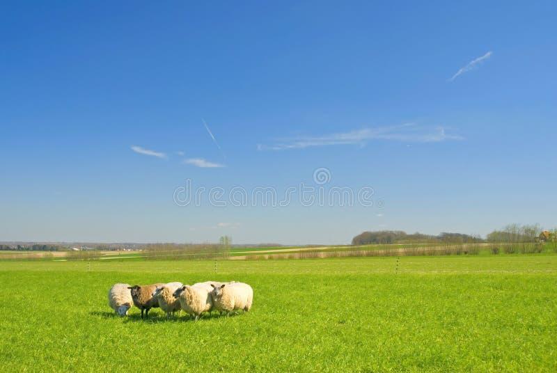 Pecore su erba con cielo blu fotografia stock libera da diritti